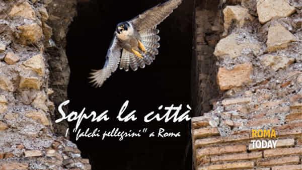Sopra la città, i falchi pellegrini a roma