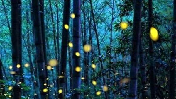 Le notti fatate delle lucciole