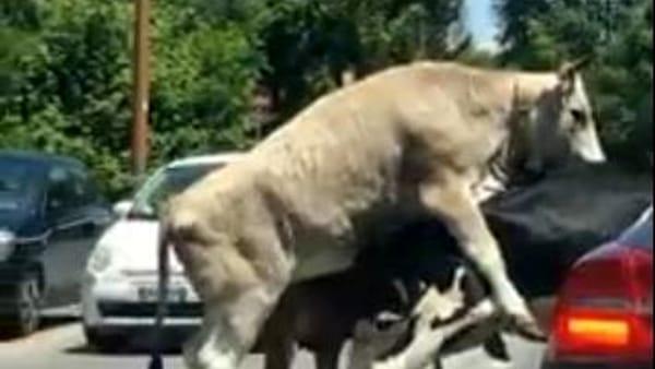 Un toro e una mucca si accoppiano in mezzo al traffico di Roma