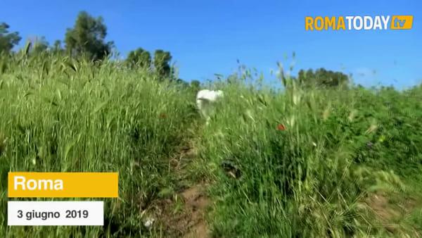 VIDEO | Nei parchi di Roma torna la savana, erba alta anche oltre il metro
