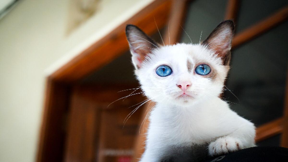 Ansia da abbandono nel gatto: sintomi e come intervenire